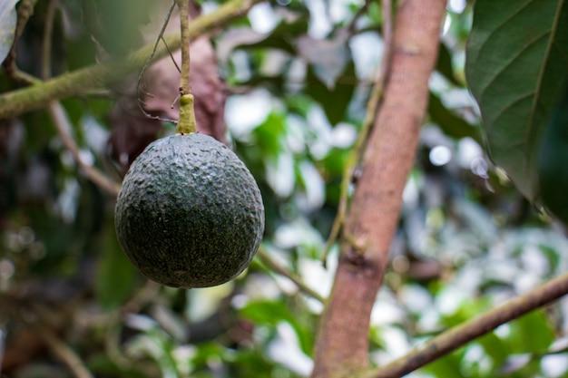 Fruto verde de abacate pendurado na árvore nome científico persea americana