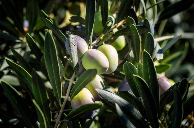 Frutos de azeitonas penduradas em uma árvore.
