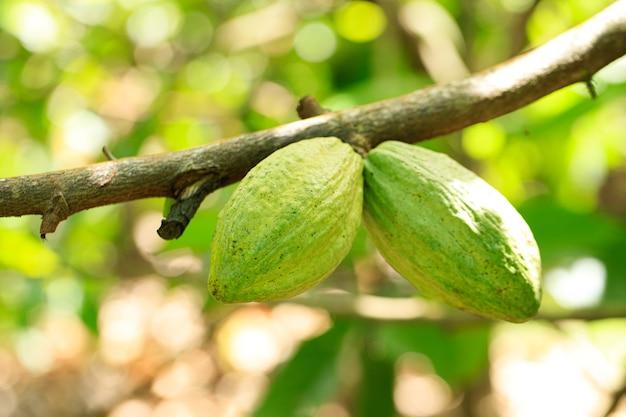 Frutos de cacau orgânico na natureza