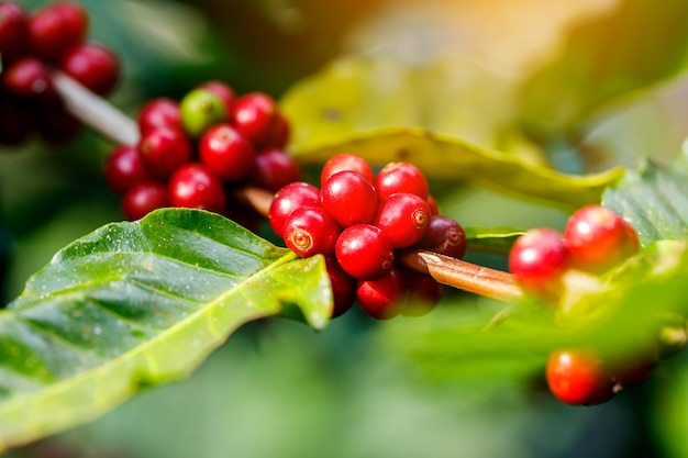 Frutos de café pela agricultura