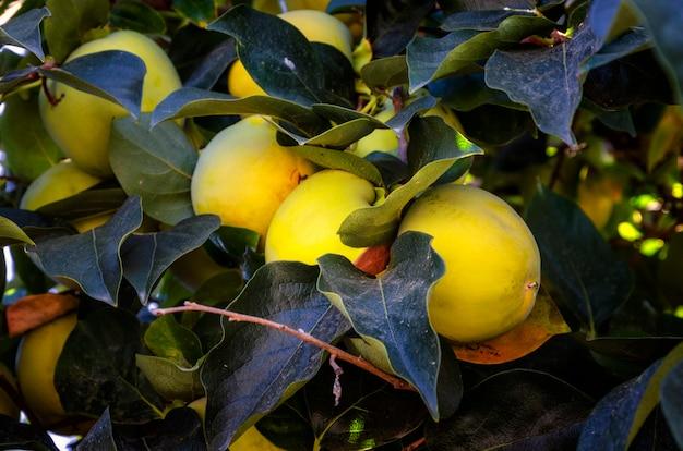 Frutos de caquis pendurados em uma árvore.