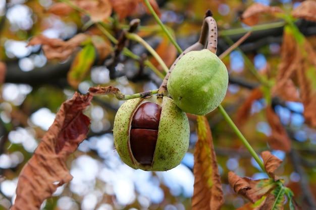 Frutos de castanha da índia amadurecem em um galho de uma árvore de outono.