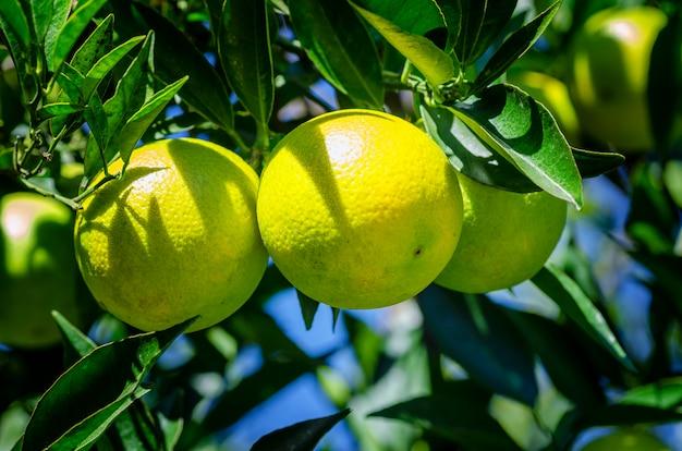 Frutos de laranjas penduradas em uma árvore.
