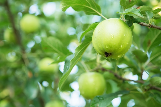 Frutos de maçã crescendo em um galho de macieira em um pomar