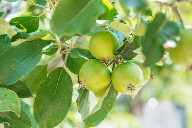 Frutos de maçã crescendo em um galho de macieira no pomar. amadurecimento da maçã.