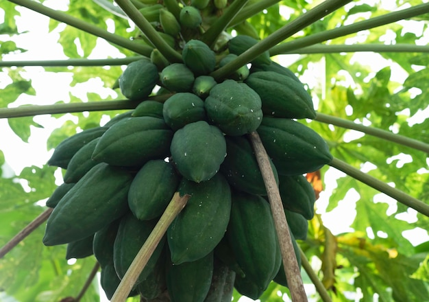 Frutos de mamão crus pendurados na árvore, casca verde, luz embaçada ao redor