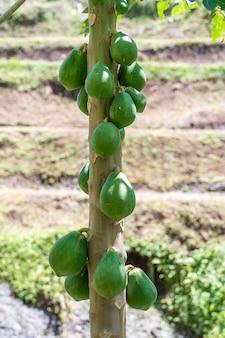 Frutos de mamão da árvore de mamão no jardim em ubud, ilha de bali, indonésia. mamão verde orgânico fresco na árvore