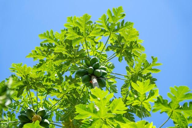 Frutos de mamão da árvore de mamão no jardim em ubud, ilha de bali, indonésia