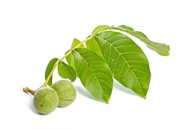 Frutos de nozes verde galho de árvore isolado em um branco