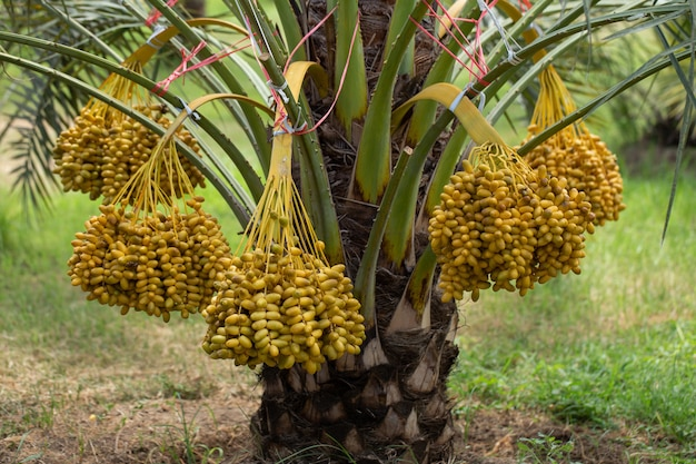 Frutos de palmas de data em uma árvore de palmas de data. cultivada no norte da tailândia