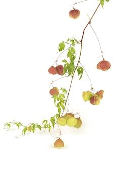 Frutos de ramo de videira balão ou cardiospermum halicacabum isolados no branco.