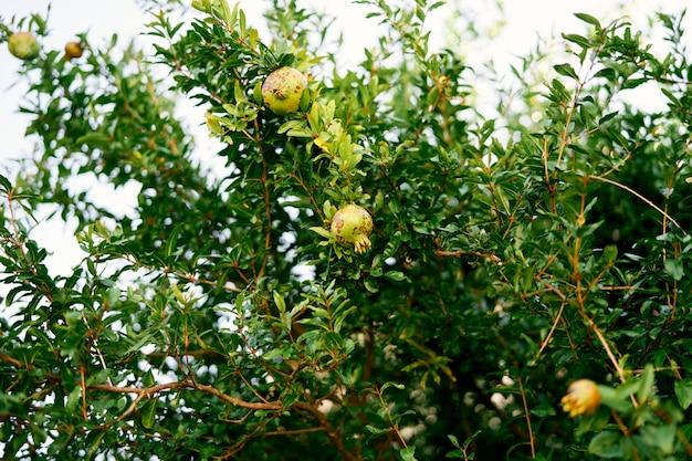 Frutos de romã amadurecem em ramos verdes