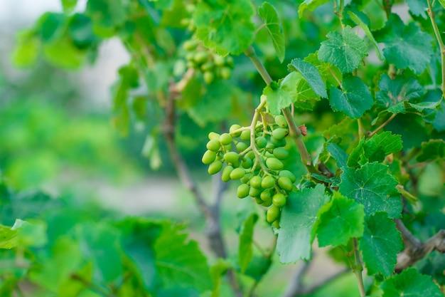 Frutos de uva verdes em vista lateral da videira no jardim