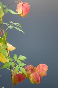 Frutos de videira balão ou cardiospermum halicacabum na superfície da natureza.