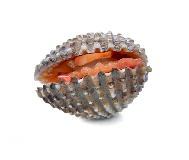Frutos do mar frescos berbigão branco