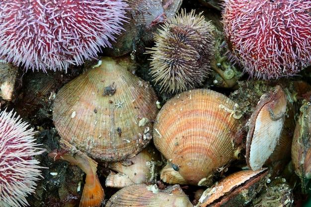 Frutos do mar frescos e ouriços e vieiras do mar