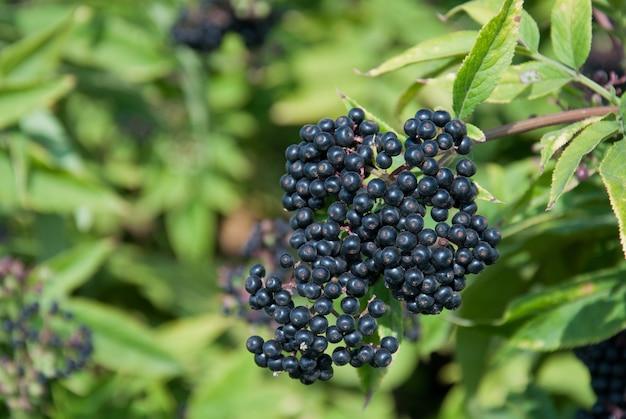 Frutos do sabugueiro preto (sambucus nigra) à luz do sol