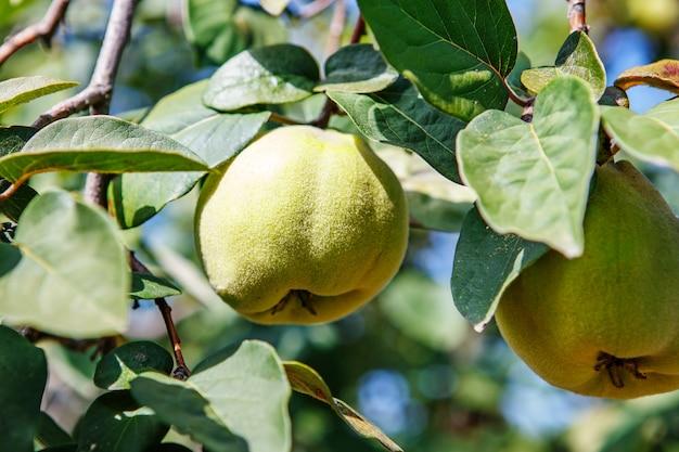Frutos doces de marmelo amadurecendo crescendo em um galho de árvore de marmelo em um pomar