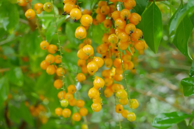 Frutos dourados de gota de orvalho (duranta repens)
