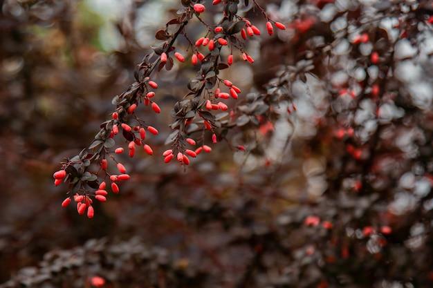 Frutos maduros de bérberis crescem no jardim. bagas vermelhas frescas, pendurado em um galho. cultivo de vegetais orgânicos.