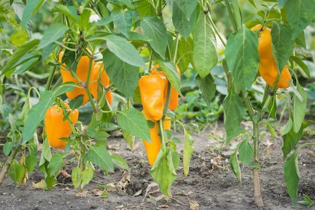 Frutos maduros de pimentão laranja nas hastes.