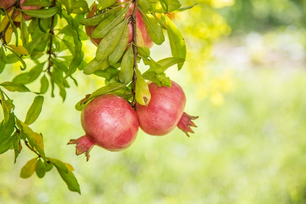 Frutos maduros de romã colorida no galho de árvore com verde embaçado durante o dia de verão agradável.