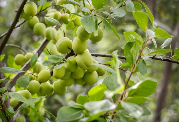 Frutos verdes de ameixa cereja crescendo em um galho no jardim sob luz natural no verão.