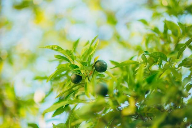 Frutos verdes de tangerina nos galhos de uma árvore