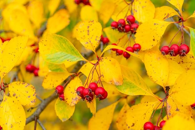 Frutos vermelhos de espinheiro. folhas amarelas