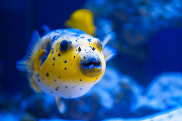 Fuga predador de peixe amarelo do mar vermelho