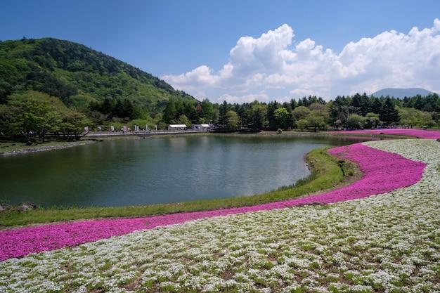 Fuji shibazakura ou festival de musgo rosa na prefeitura de yaminashi