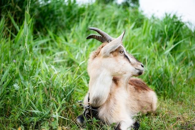 Fumaça doméstica cabra com chifres andando no pasto e aproveitando o dia quente de verão.