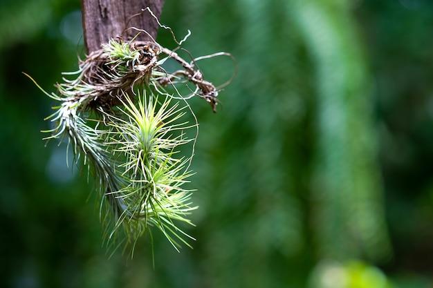 Funckiana de tillandsia ou planta de ar no fundo verde.