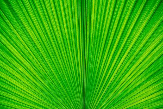 Fundo abstrato da textura em folha de palmeira verde. papel de parede e pano de fundo natureza.