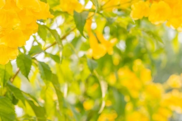 Fundo abstrato do borrão de flores amarelas, stans de tecoma.