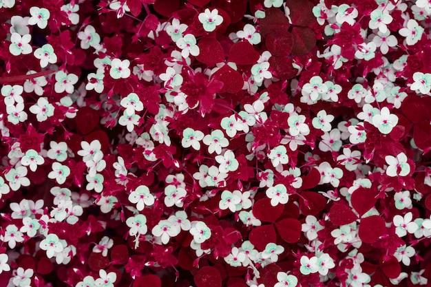 Fundo abstrato primavera de pequenas flores brancas em um pasto com grama vermelha, vista superior