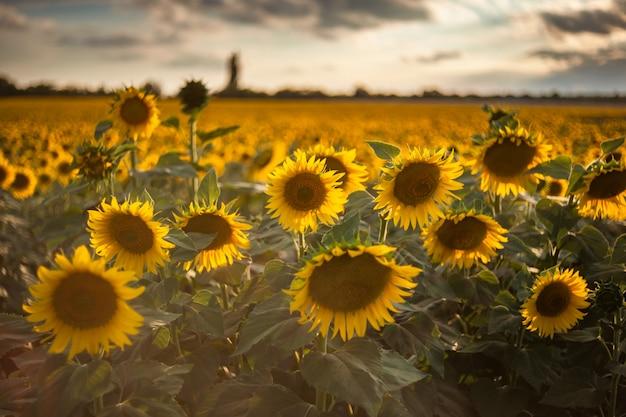 Fundo agrícola com girassóis, paisagem agrícola com campo e lindo céu, foco seletivo