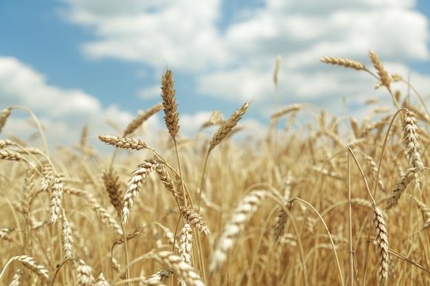 Fundo agrícola. espigas de trigo maduras e douradas no campo
