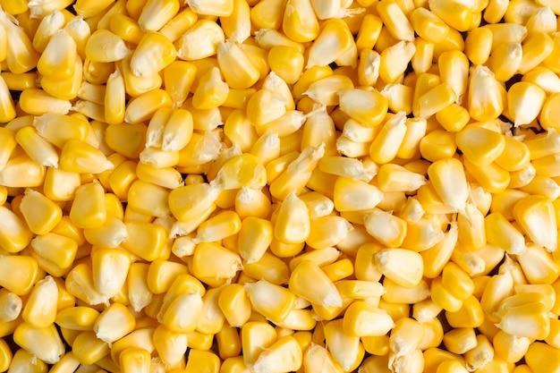 Fundo amarelo dos grãos.