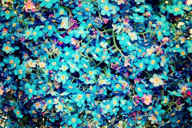 Fundo azul das flores. flores esquece-me-not
