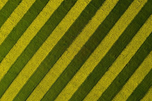 Fundo bonito campo de colza listrado. vista de cima