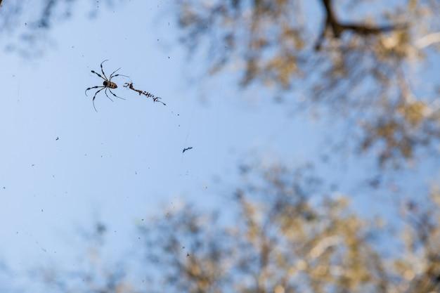Fundo bonito de céu azul e árvore alta e close de uma aranha com sua teia
