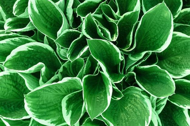 Fundo bonito de folhas verdes e brancas brilhantes. textura de materiais naturais.