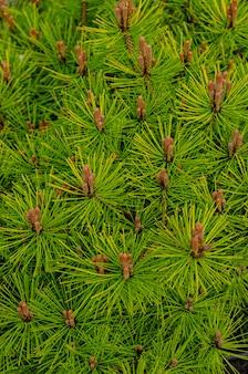 Fundo botânico - pinheiros de florescência na primavera. belo jardim bem cuidado