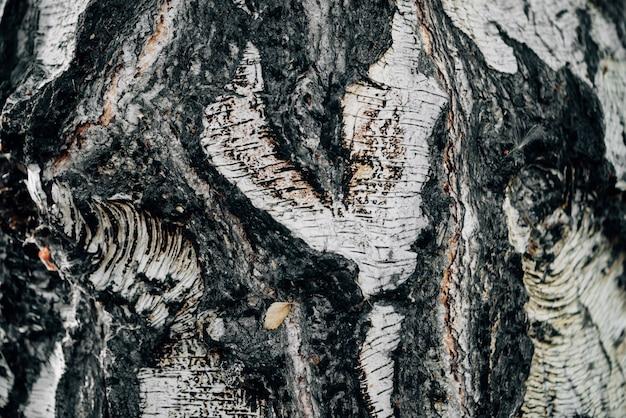 Fundo branco da natureza do close-up da casca de vidoeiro.