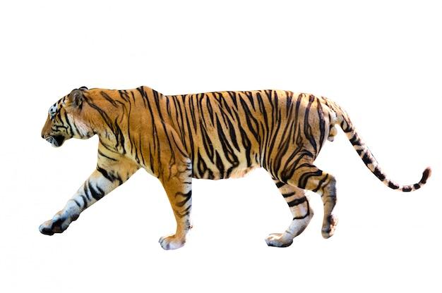 Fundo branco de tigre isolar o corpo inteiro