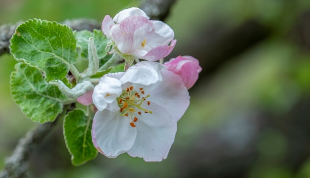 Fundo branco flores de cerejeira, cereja ou pêra.