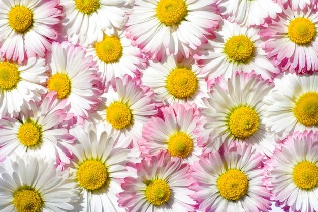 Fundo brilhante de chamomiles de campo branco e rosa