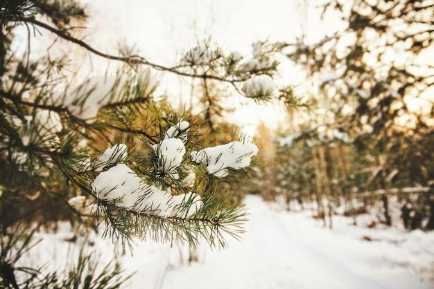 Fundo brilhante de inverno com close-up de um galho de pinheiro coberto de neve em uma floresta de inverno