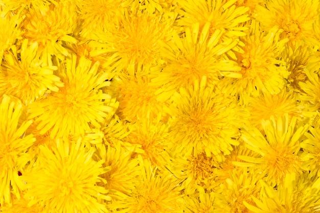 Fundo brilhante e bonito de flores amarelas dente de leão